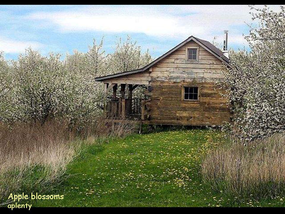 Apple blossoms aplenty