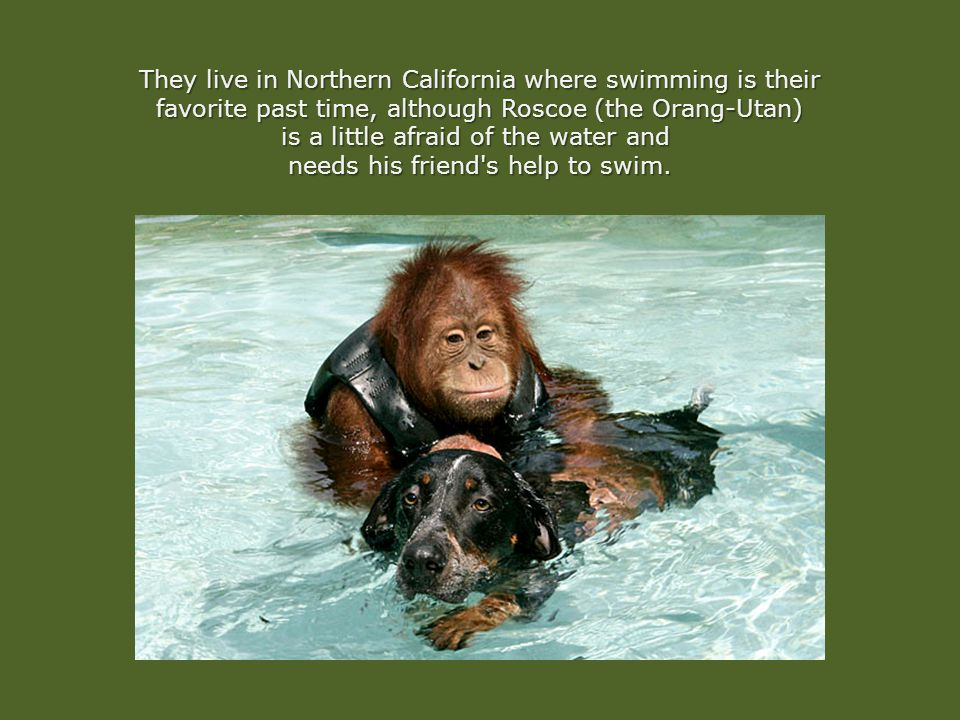 They live in Northern California where swimming is their favorite past time, although Roscoe (the Orang-Utan) is a little afraid of the water and is a little afraid of the water and needs his friend s help to swim.