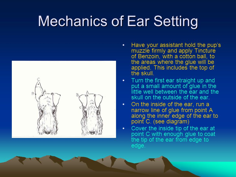 Mechanics of Ear Setting Have your assistant hold the pup's muzzle firmly and apply Tincture of Benzoin, with a cotton ball, to the areas where the glue will be applied.