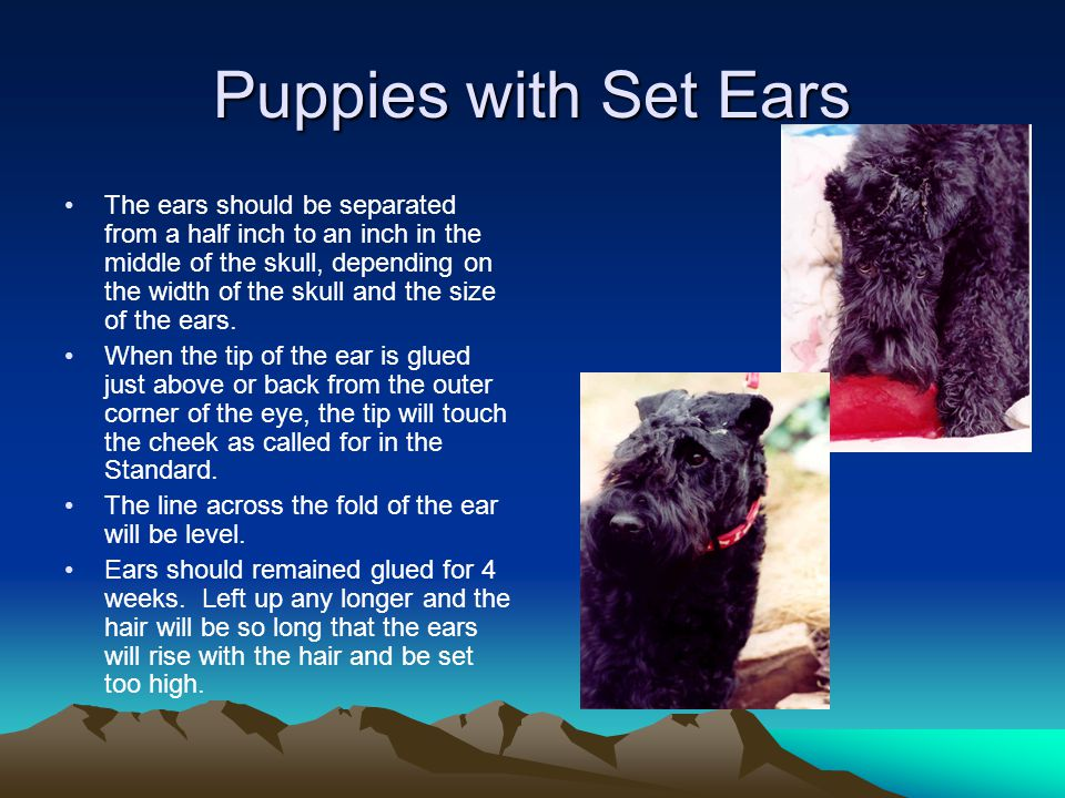 Puppies with Set Ears The ears should be separated from a half inch to an inch in the middle of the skull, depending on the width of the skull and the size of the ears.