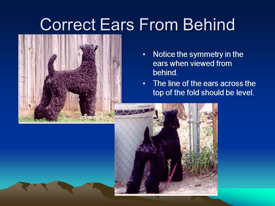 Correct Ears From Behind Notice the symmetry in the ears when viewed from behind.