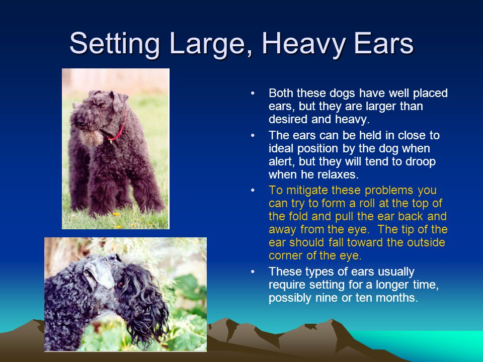 Setting Large, Heavy Ears Both these dogs have well placed ears, but they are larger than desired and heavy.