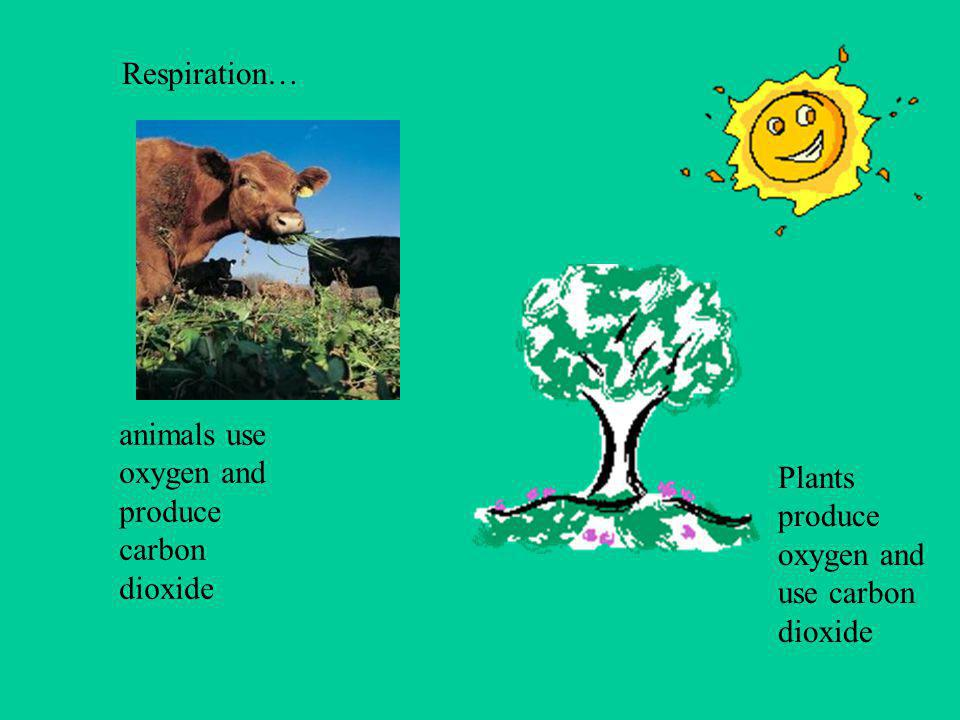 PHOTOSYNTHESIS is the process by which green plants get light energy from the sun. This energy is collected in the plant leaves as chlorophyll. Chloro