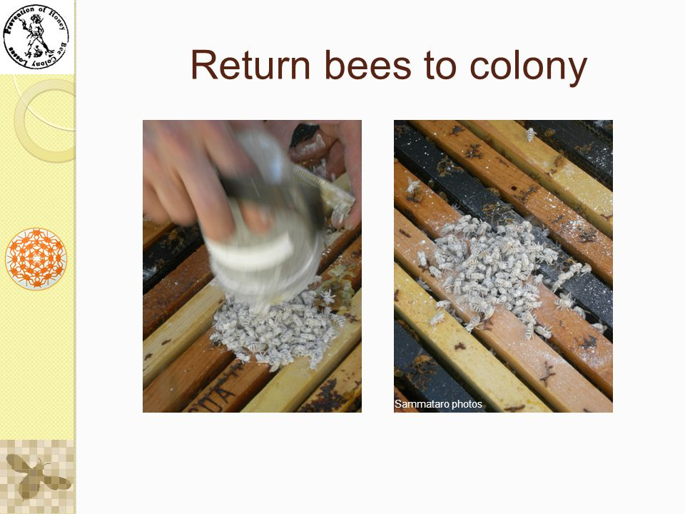 Return bees to colony Sammataro photos