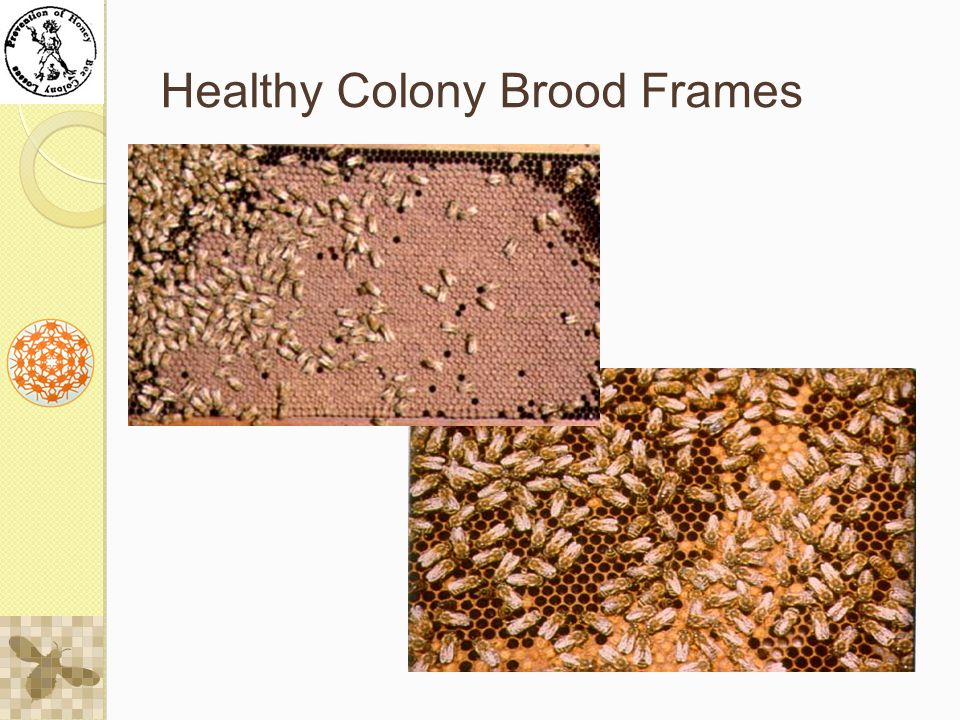 Healthy Colony Brood Frames