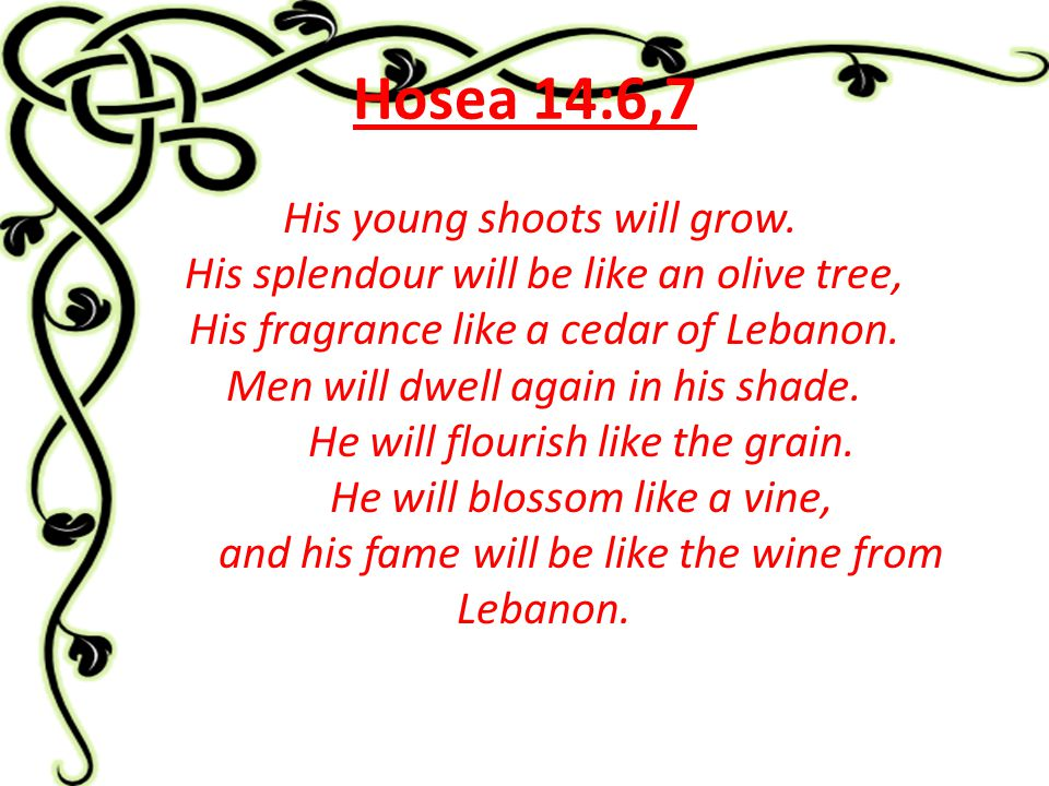 Hosea 14:6,7 His young shoots will grow. His splendour will be like an olive tree, His fragrance like a cedar of Lebanon. Men will dwell again in his