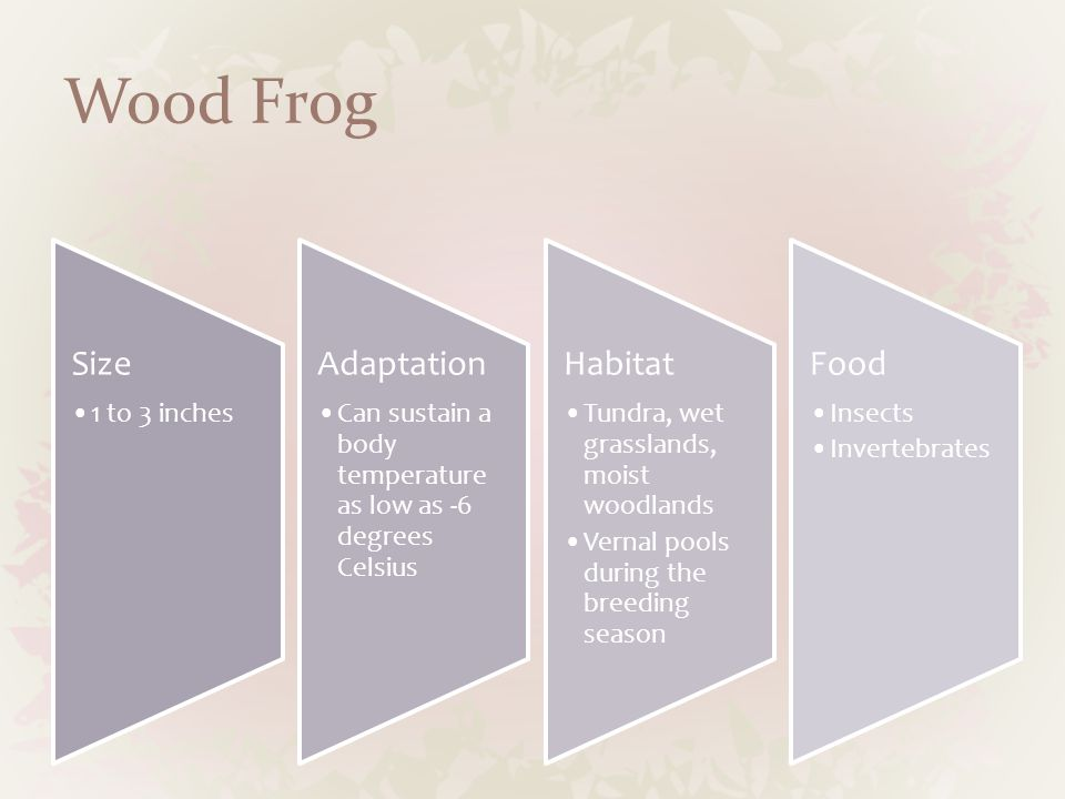 Wood Frog Size 1 to 3 inches Adaptation Can sustain a body temperature as low as -6 degrees Celsius Habitat Tundra, wet grasslands, moist woodlands Vernal pools during the breeding season Food Insects Invertebrates