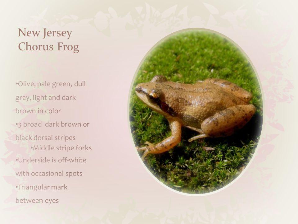 New Jersey Chorus Frog