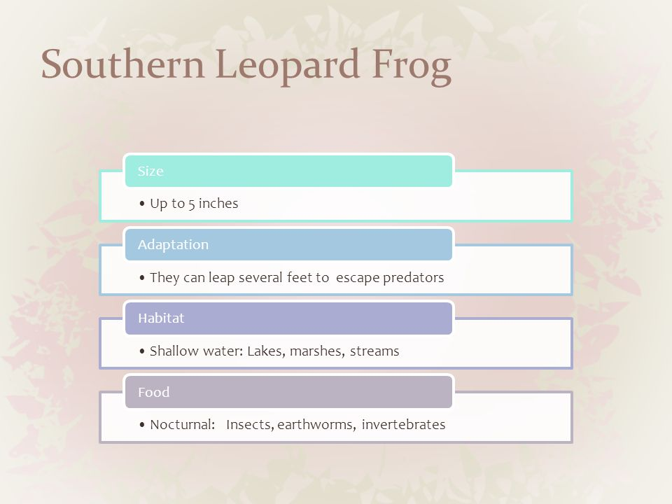 Southern Leopard Frog Up to 5 inches Size They can leap several feet to escape predators Adaptation Shallow water: Lakes, marshes, streams Habitat Nocturnal: Insects, earthworms, invertebrates Food