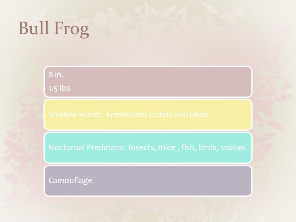 Bull Frog 8 in. 1.5 lbs Shallow water: Freshwater ponds and lakesNocturnal Predators: Insects, mice, fish, birds, snakesCamouflage