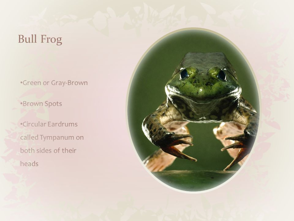 Northern Green Frog Food Snakes Lizards Other frogs Size 2 ¼ To 4 ¼ inches Habitat Freshwater marshes, shallow ponds, small streams Adaptations Tadpoles are slightly toxic