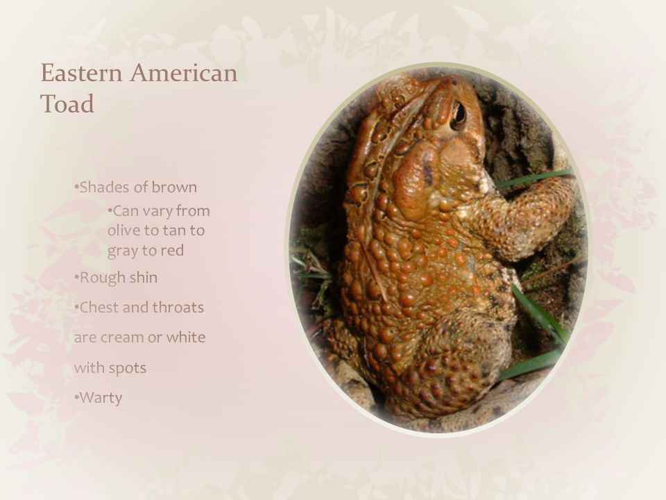 Northern Leopard Frog Size 3 to 5 Inches Habitat Ponds, swamps, marshes, slow streams Adaptation Powerful swimmers (webbed feet) Food Beetles, ants, flies, worms, small frogs