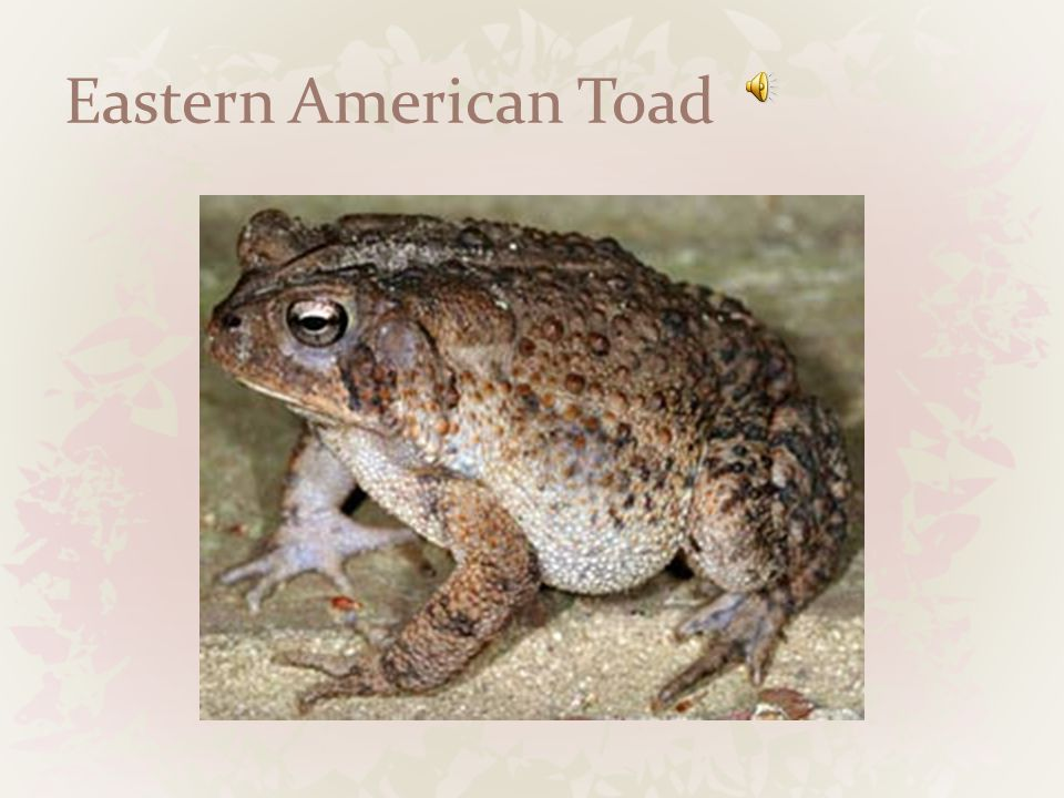 Eastern Gray Treefrog 2 3/8 inches Large toe pads Wooded habitats Insects and invertebrates