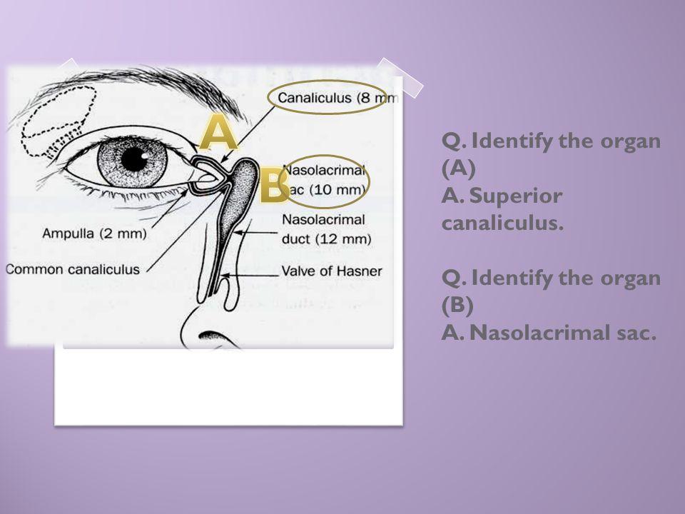Q. Identify the organ (A) A. Superior canaliculus. Q. Identify the organ (B) A. Nasolacrimal sac.