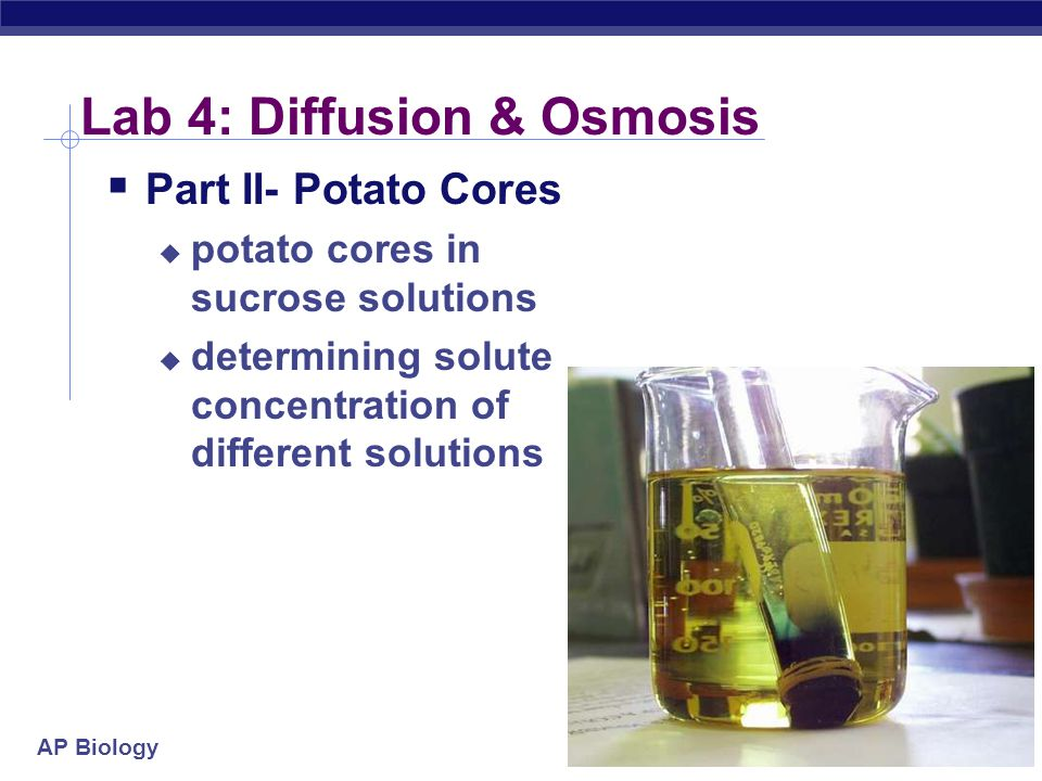 AP Biology Lab 4: Diffusion & Osmosis  Part II- Potato Cores  potato cores in sucrose solutions  determining solute concentration of different solutions