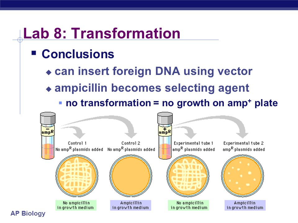 AP Biology Lab 8: Transformation  Conclusions  can insert foreign DNA using vector  ampicillin becomes selecting agent  no transformation = no growth on amp + plate