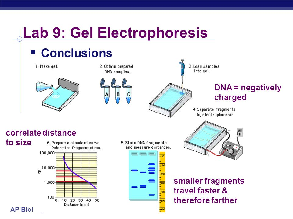 AP Biology Lab 9: Gel Electrophoresis  Conclusions DNA = negatively charged smaller fragments travel faster & therefore farther correlate distance to size
