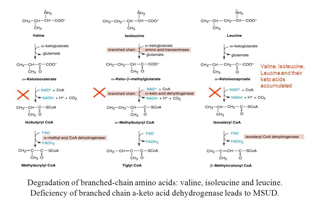 Degradation of branched-chain amino acids: valine, isoleucine and leucine.