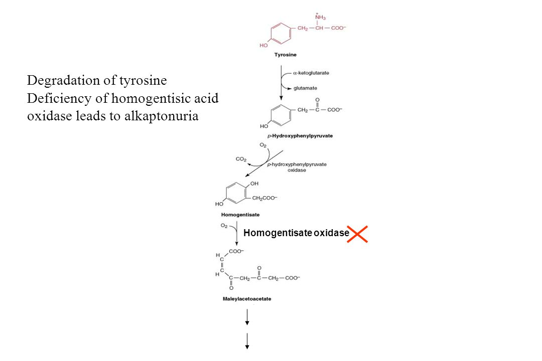 Degradation of tyrosine Deficiency of homogentisic acid oxidase leads to alkaptonuria Homogentisate oxidase