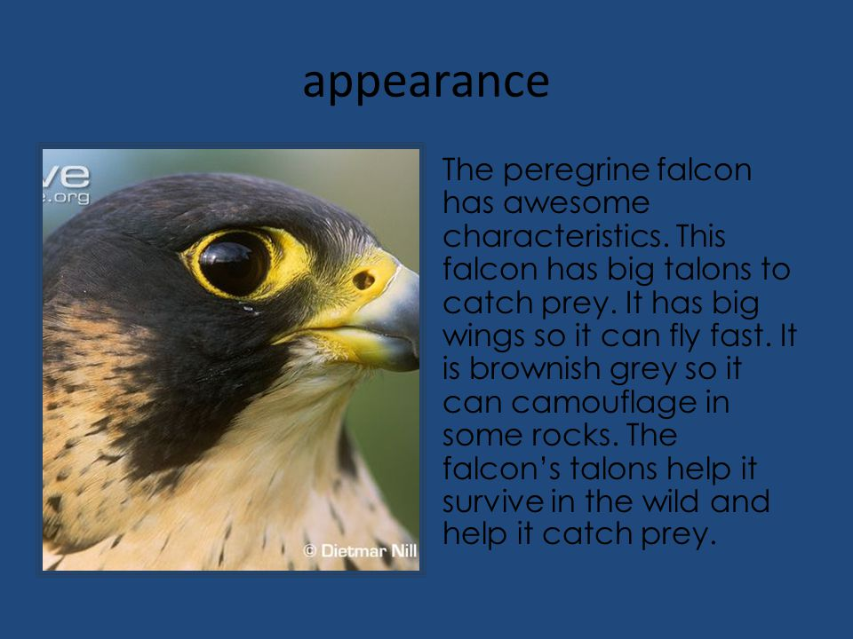 appearance The peregrine falcon has awesome characteristics. This falcon has big talons to catch prey. It has big wings so it can fly fast. It is brow