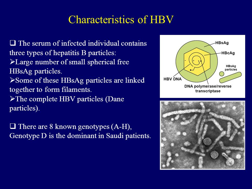  The serum of infected individual contains three types of hepatitis B particles:  Large number of small spherical free HBsAg particles.  Some of th
