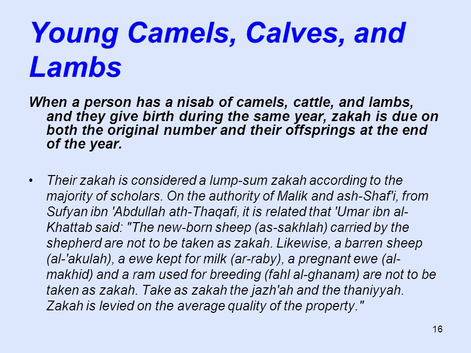 16 Young Camels, Calves, and Lambs When a person has a nisab of camels, cattle, and lambs, and they give birth during the same year, zakah is due on b