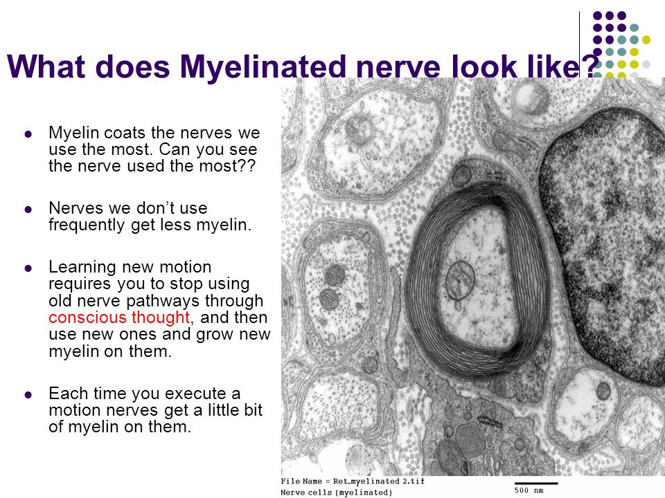 What does Myelinated nerve look like. Myelin coats the nerves we use the most.