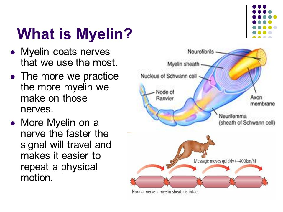 What is Myelin. Myelin coats nerves that we use the most.