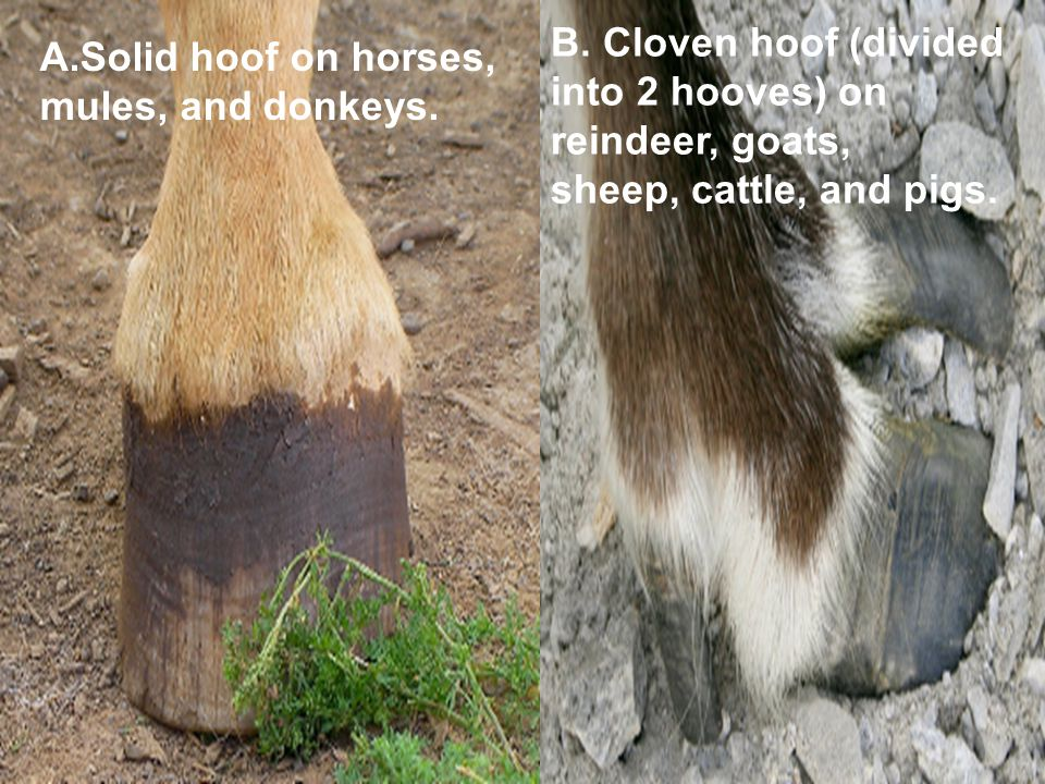 A.Solid hoof on horses, mules, and donkeys. B.