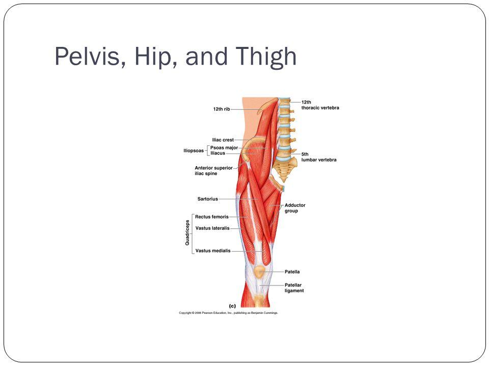 Pelvis, Hip, and Thigh