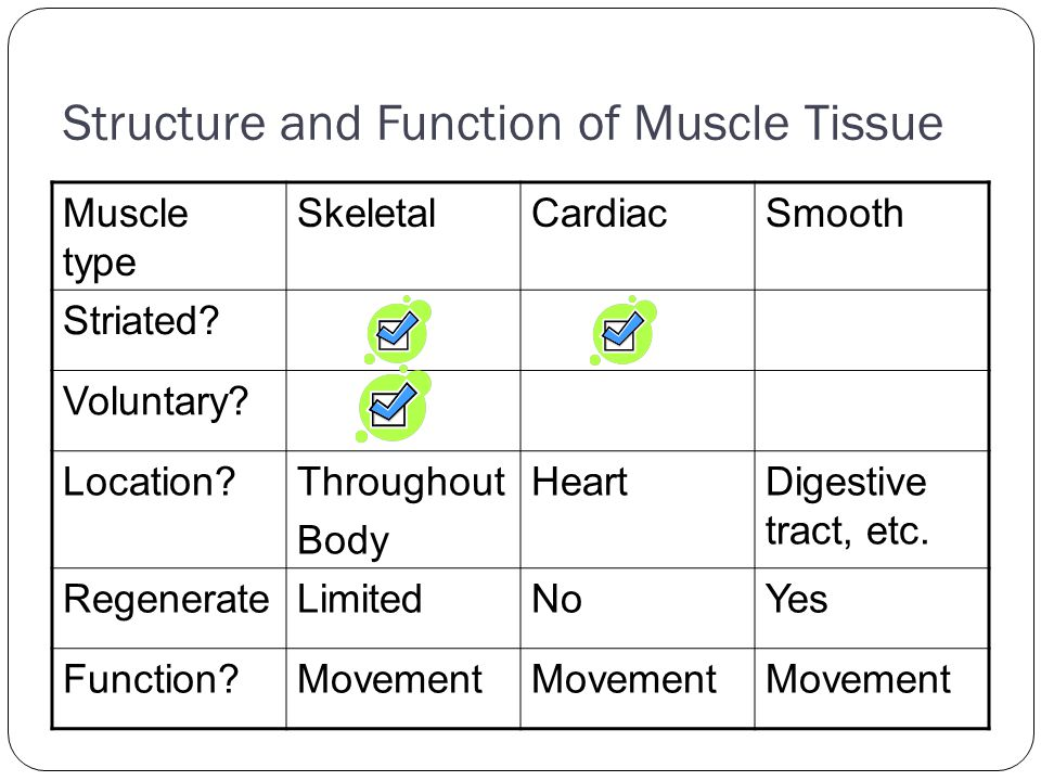 Structure and Function of Muscle Tissue Muscle type SkeletalCardiacSmooth Striated? Voluntary? Location?Throughout Body HeartDigestive tract, etc. Reg