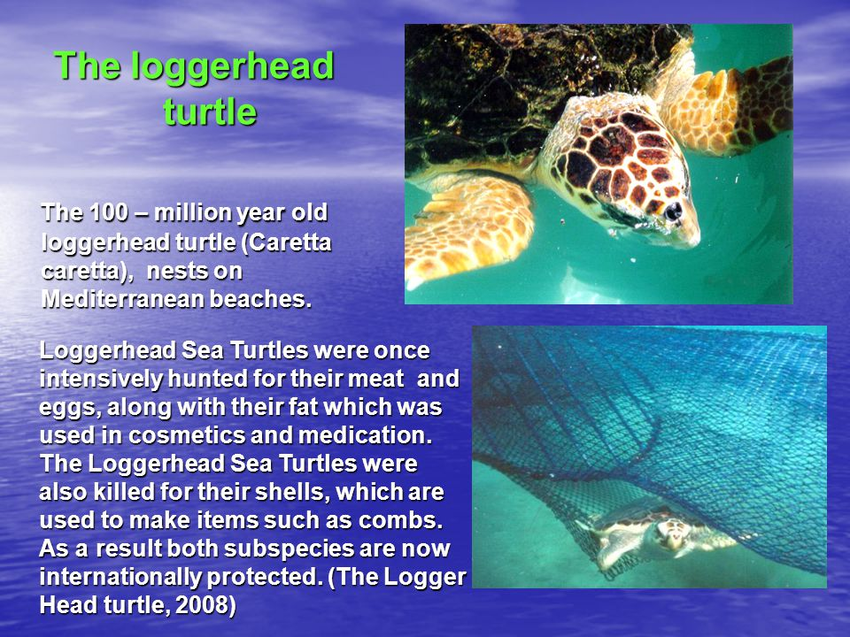 The loggerhead turtle The 100 – million year old loggerhead turtle (Caretta caretta), nests on Mediterranean beaches.