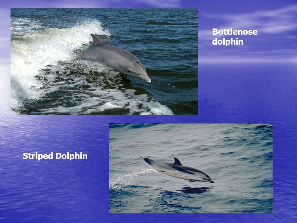 Bottlenose dolphin Striped Dolphin