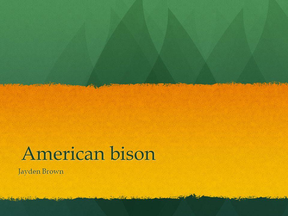 American bison Jayden Brown