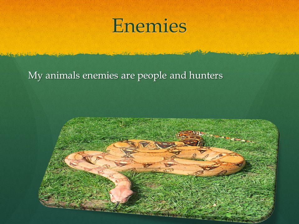 Enemies My animals enemies are people and hunters