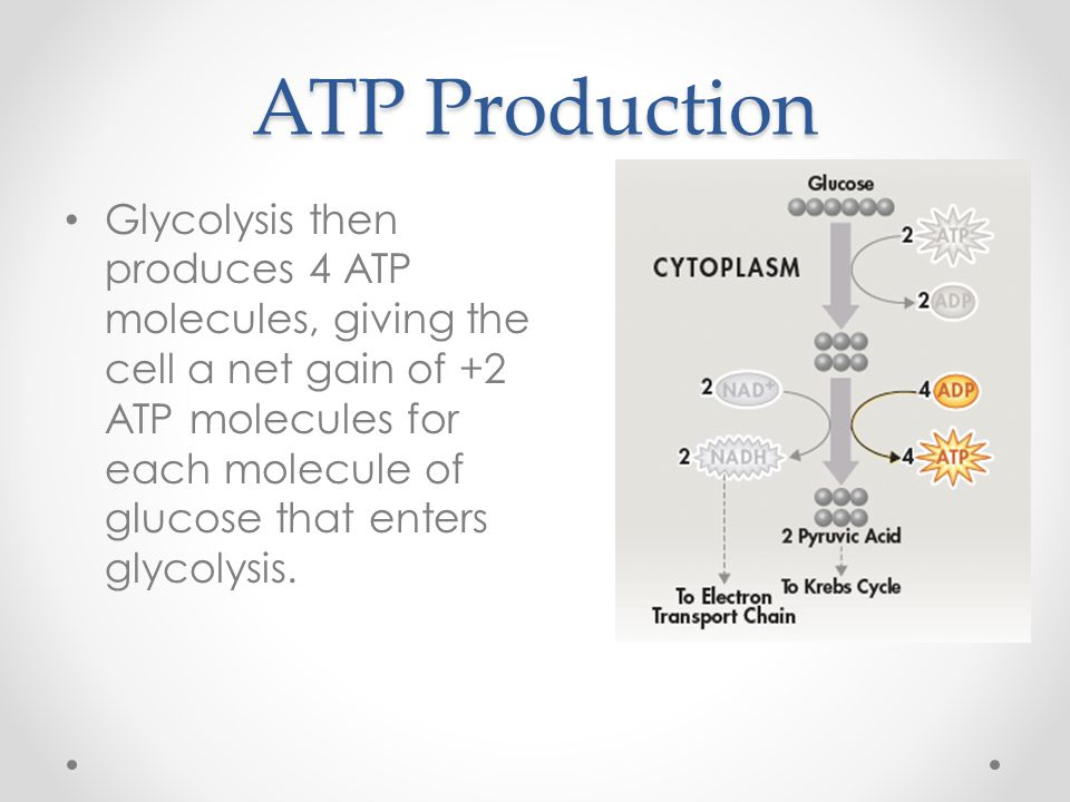 ATP Production Glycolysis then produces 4 ATP molecules, giving the cell a net gain of +2 ATP molecules for each molecule of glucose that enters glyco