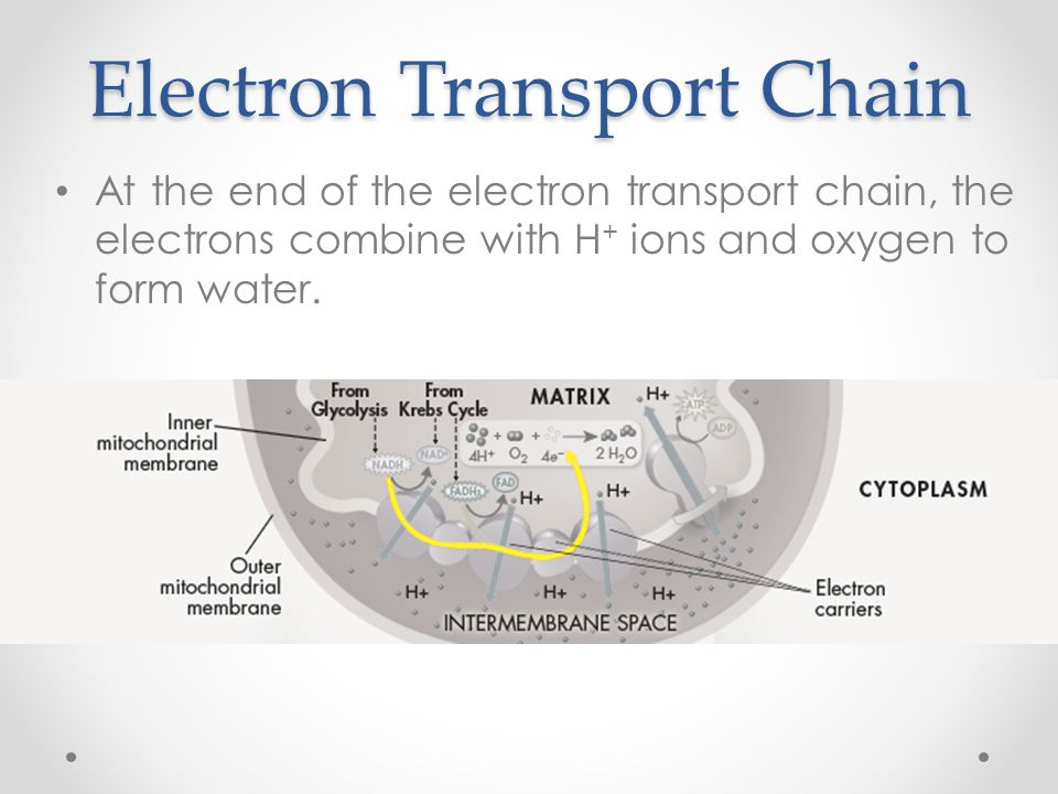 Electron Transport Chain At the end of the electron transport chain, the electrons combine with H + ions and oxygen to form water.