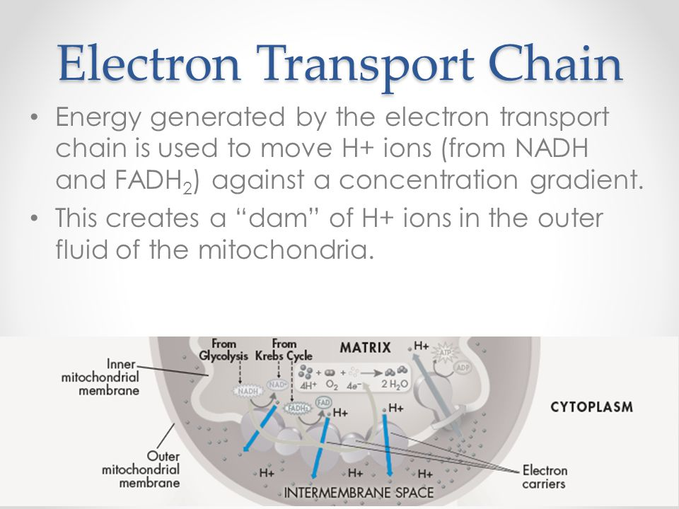 Electron Transport Chain Energy generated by the electron transport chain is used to move H+ ions (from NADH and FADH 2 ) against a concentration grad