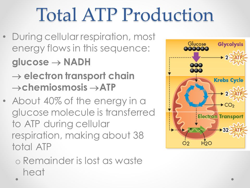 Total ATP Production During cellular respiration, most energy flows in this sequence: glucose  NADH   electron transport chain  chemiosmosis  ATP