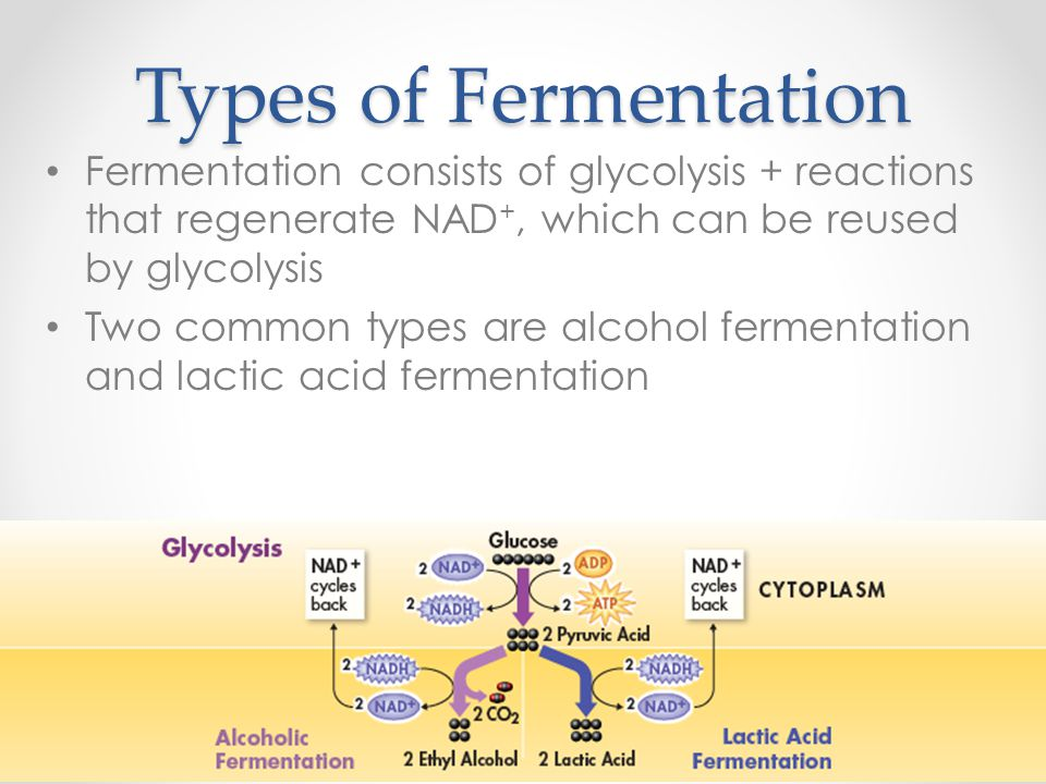 Types of Fermentation Fermentation consists of glycolysis + reactions that regenerate NAD +, which can be reused by glycolysis Two common types are al