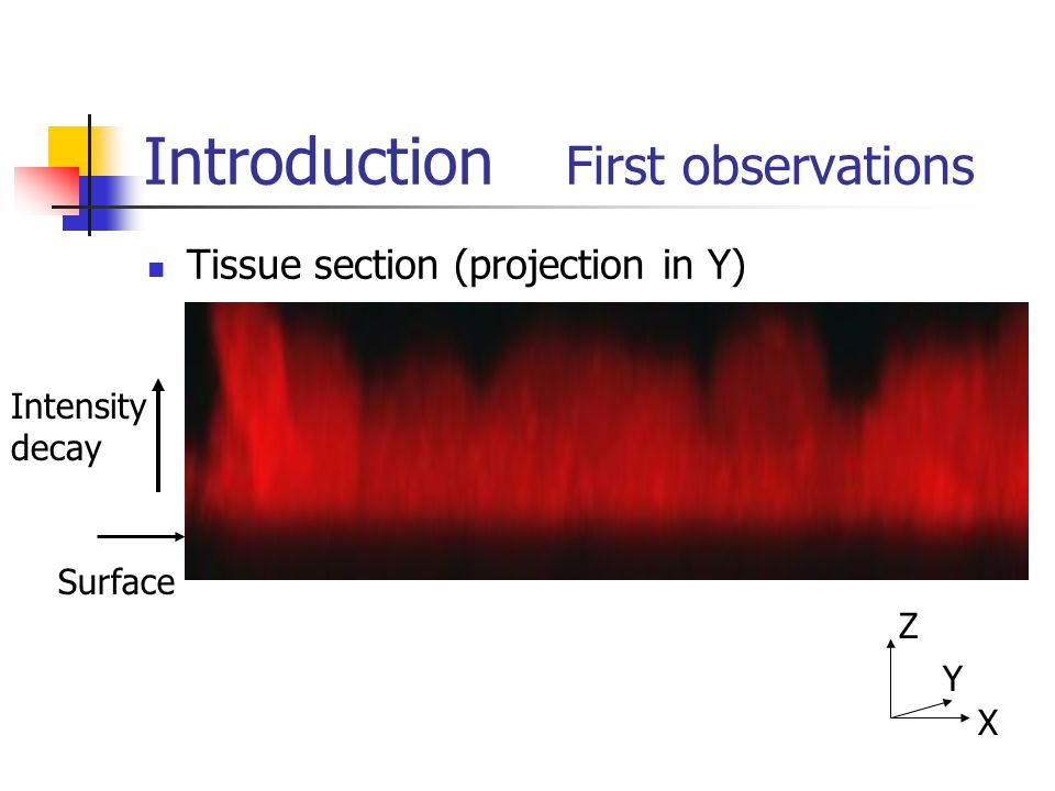 Introduction First observations Tissue section (projection in Y) Surface Intensity decay X Z Y