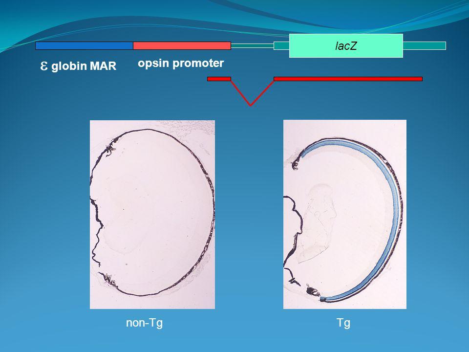 opsin promoter  globin MAR lacZ non-TgTg