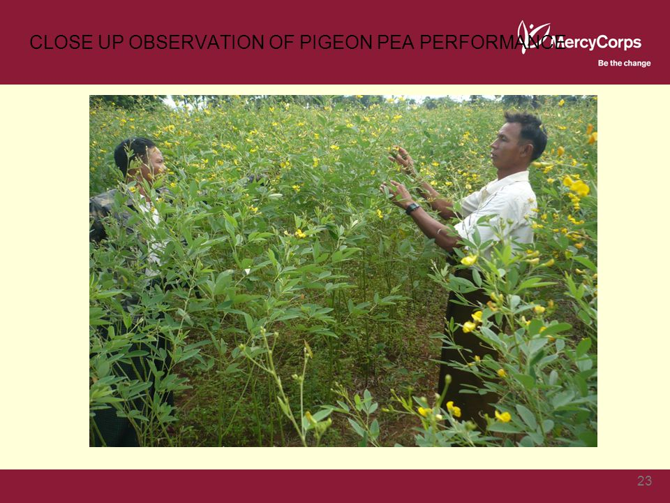 CLOSE UP OBSERVATION OF PIGEON PEA PERFORMANCE 23
