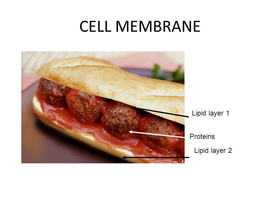 CELL MEMBRANE Lipid layer 1 Lipid layer 2 Proteins