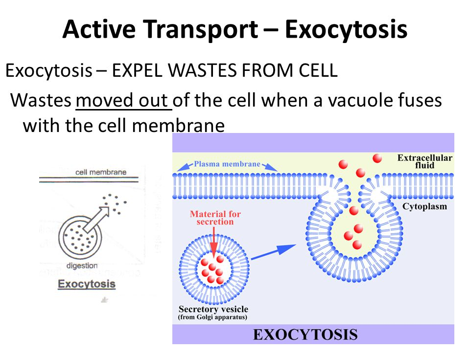 Exocytosis – EXPEL WASTES FROM CELL Wastes moved out of the cell when a vacuole fuses with the cell membrane Active Transport – Exocytosis