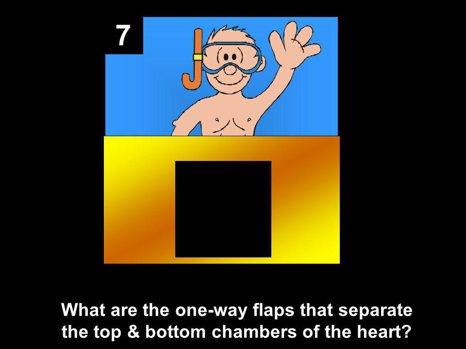 7 What are the one-way flaps that separate the top & bottom chambers of the heart?