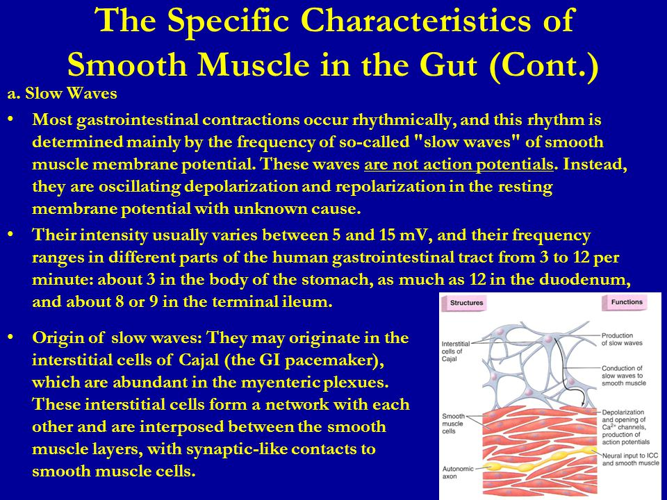 The Specific Characteristics of Smooth Muscle in the Gut (Cont.) a.