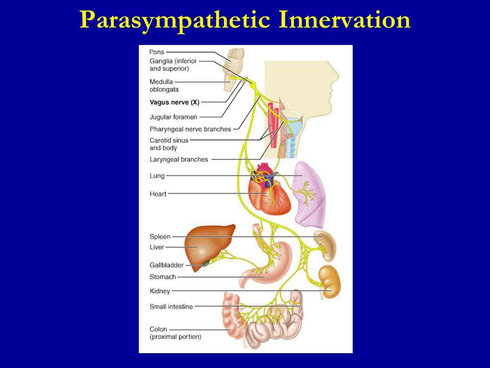 Parasympathetic Innervation