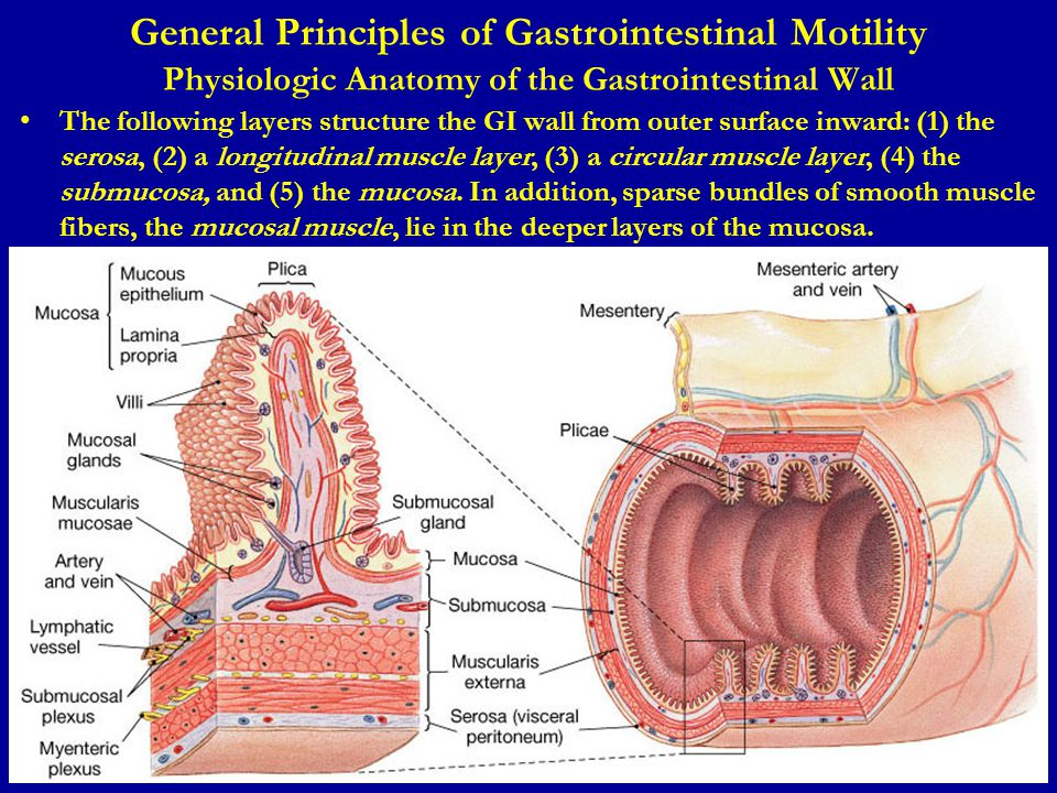 General Principles of Gastrointestinal Motility Physiologic Anatomy of the Gastrointestinal Wall The following layers structure the GI wall from outer surface inward: (1) the serosa, (2) a longitudinal muscle layer, (3) a circular muscle layer, (4) the submucosa, and (5) the mucosa.