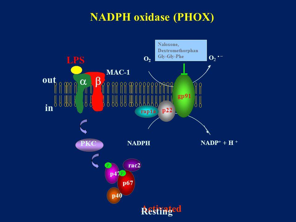 NADPH oxidase (PHOX) Activated O2O2 O2 –O2 – NADPH NADP + + H + Resting gp91 p22 rap1a p40 p47 rac2 p67  MAC-1 LPS out in PKC P P Naloxone, Dextromethorphan Gly-Gly-Phe